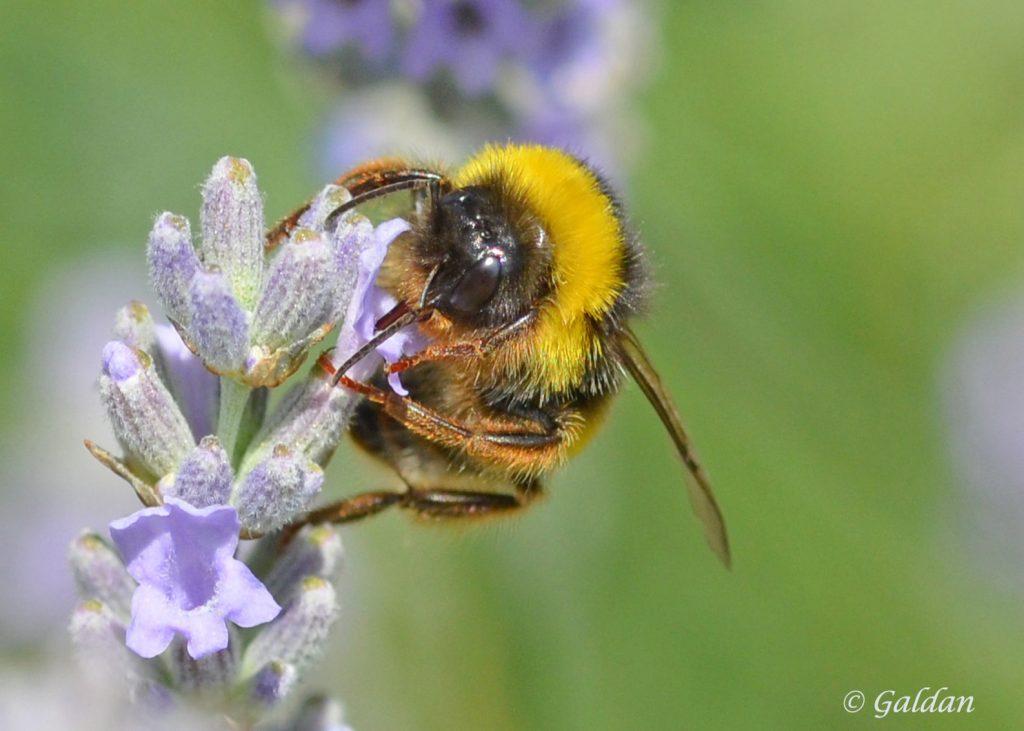 Gros plan d'une abeille.